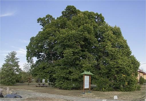 A falu híres hársfáit az 1784-ben épült templom tiszteletére ültették Forrás: Turista Magazin archív/nosza.info